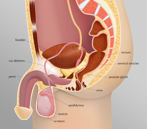 image showing location of bladder,penis, scrotum, testical, epididymus, anus, prostate gland, seminal vesicles and rectum.